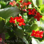 Red Kalencloe Close Up copy